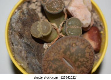 Lithops succulent plants in a yellow pot