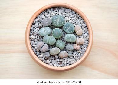 lithops succulents, Cactus