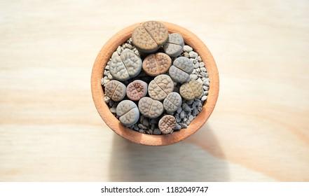 Lithops suculents. Little cactus.