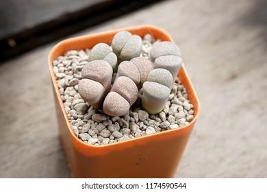 Lithops tericolor. Succulent plants. Cactus