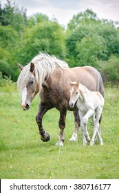 Lithuanian heavy horse with a foal on the pasture in summer