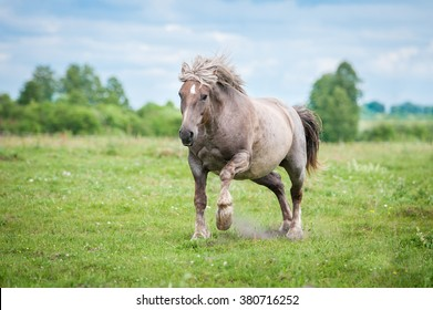 Lithuanian heavy horse running gallop on the field in summer