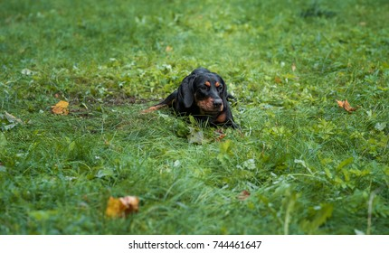 Lithuanian Hound Dog Lying on the grass.
