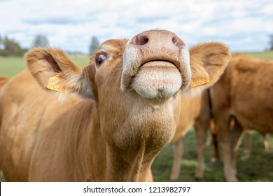 Lithuanian Jersey cow