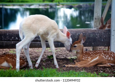 Lititz, PA, USA - June 24, 2018: Two white-tail deer fawns nuzzle each others' noses at a petting zoo in Lancaster County, PA.