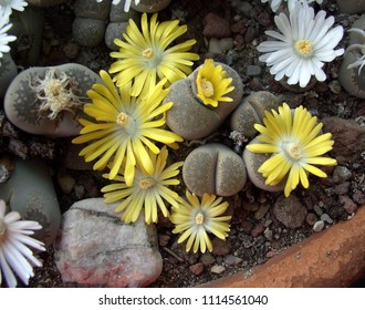 Litophs with white and yellow flowers