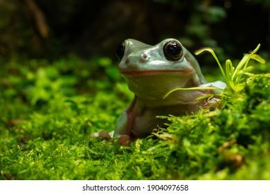 Litoria Tree Frog (Litoria caerulea) closeup