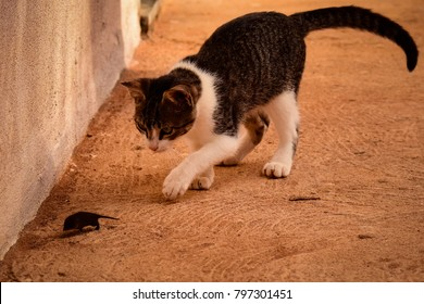 Litte cat chasing mouse