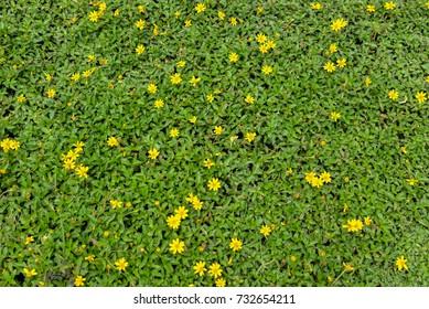 Littel yellow flower on   green leaves of background.