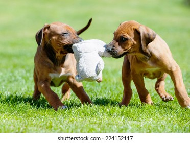 A litter of beautiful Rhodesian Ridgeback puppies are playing with a dog toy in backyard. Image taken on a sunny day in summer.