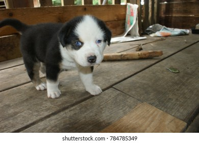 A litter of Bernese Mountain Dog and Husky mix born in the summer 2017