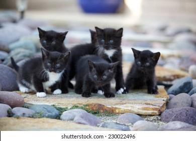 A litter of black and white kittens outside on rocks.