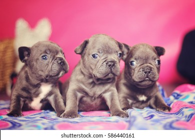 Litter of Blue french bulldog puppies