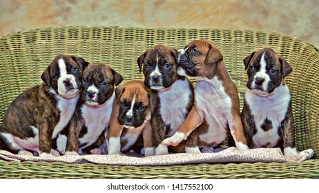 Litter of Boxer Puppies, six puppies six weeks old animals together on wicker chair.