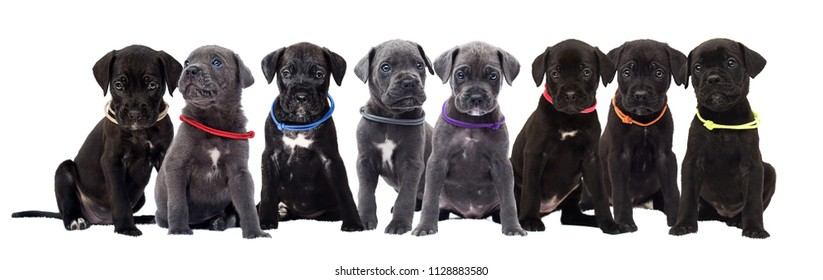 litter of canine corso
