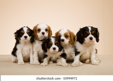 Litter of Cavalier King Charles spaniel puppies on beige background