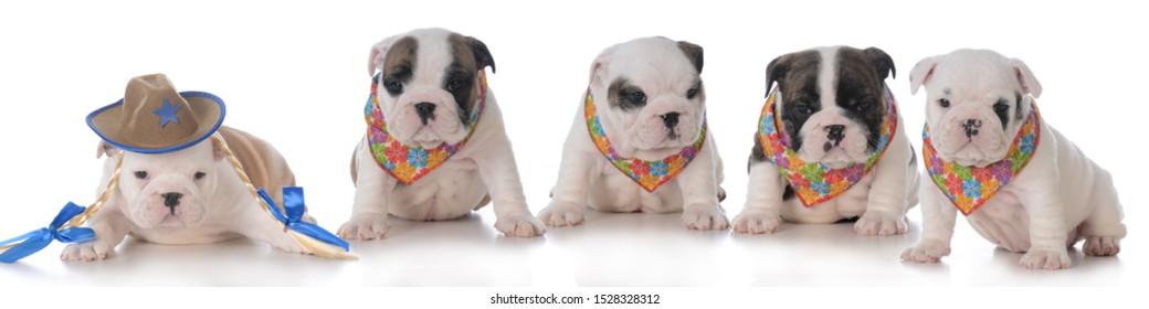 litter of five bulldog puppies wearing bandanas isolated on white background