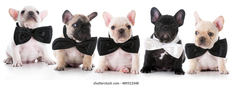 litter of french bulldog puppies wearing bowties on white background
