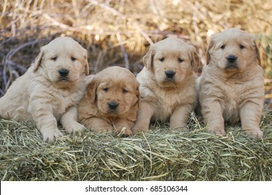 Litter of Golden Retriever Puppies Sitting on Bale of Hay