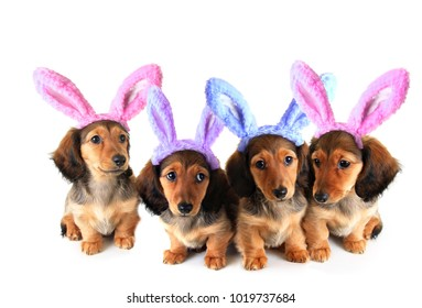 Litter of longhair dachshund puppies wearing Easter bunny ears. Studio isolated on white.