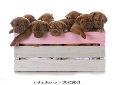litter of nine dogue de bordeaux puppies in a wooden crate on white background
