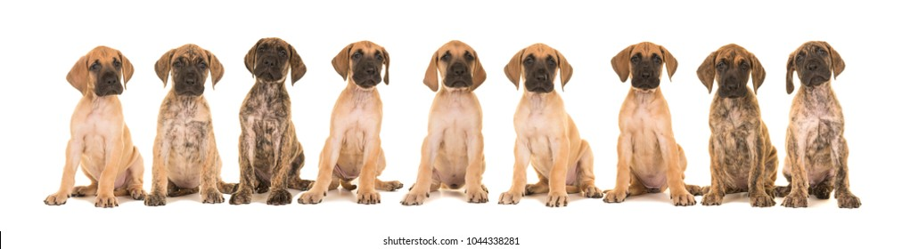 Litter of nine yellow and brindle great dane puppies sitting in a row isolated on a white background