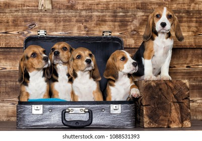 litter of puppies beagle in a suitcase