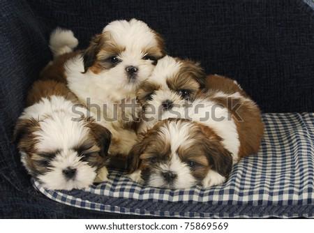Litter Puppies Four Shih Tzu Puppies Stock Photo Edit Now 75869569
