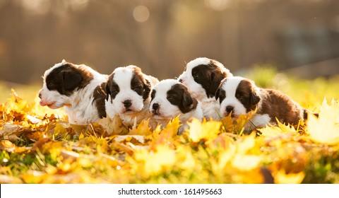 Litter of saint bernard puppies in autumn