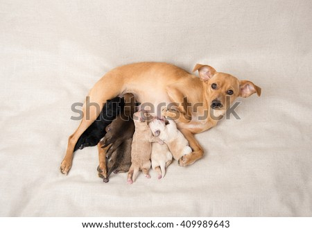 Litter Small Breed Newborn Puppies Nursing Stock Photo Edit Now