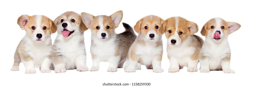 litter small welsh corgi puppies in the studio