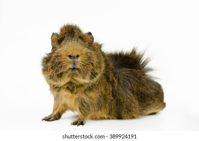 little abyssinian guinea pig (agouti colored)