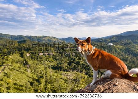 fcf39d8b6 Little Adams Peak in Ella. A dog overlooking the valley with mountains  around Ella from a steep rock on a cliff called little adams peak. Near  Ella Gap.