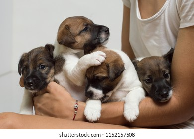 Little adorable thoroughbred puppies on hands, fox terrier