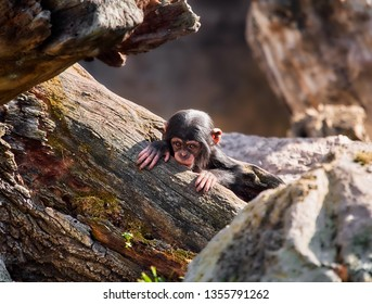 Little african baby chimpance, coming out from inside a fallen tree trunk