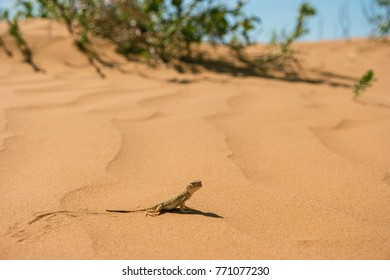 Little agamid lizard  in the desert of the Republic of Kalmykia. Phrynocephalus mystaceus is the steppe species of lizards.