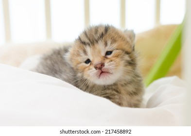 Little American Short hair kitten sleeping on bed