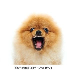 Little angry spitz