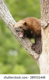 little angry Wolverine
