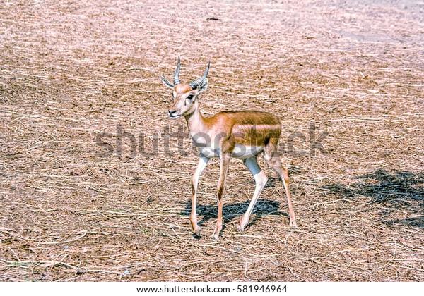 Little antelope. C small horns. Standing on the dry grass.
