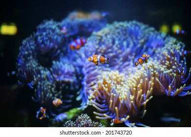 The little aquarium decorated with coral leaves for anemone fish  living