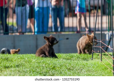 Little baby black and brown bears playing in an enclosure in the spring sunshine with a crowd of people watching in the distance.