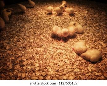 Little baby chicks