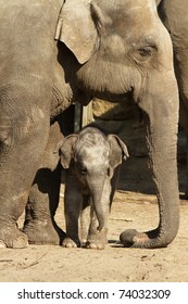 Little baby elephant next to its mother