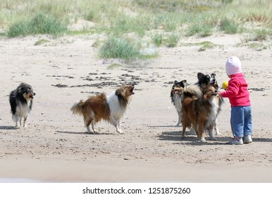 Little baby girl playing with ball with a barking sheltie gang on the beach.  Fluffy sable black white, tricolor shetland sheepdog, sheltie . Small, little collie, lassie dog, family friends