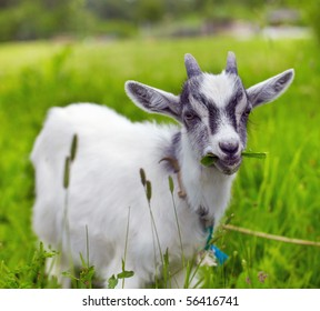 little baby goat