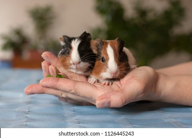 Little baby guinea pigs eating grass in the human hands