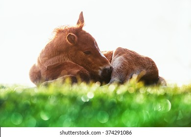 Little Baby Horse Laying On A Fresh Green Grass In The Mountain Meadow Morning Shot