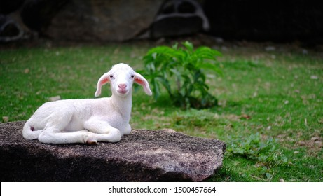 Little baby lamb laying on stone in farm.