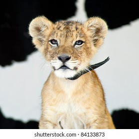 Little baby lion cub